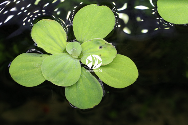 Rośliny pływające w akwarium